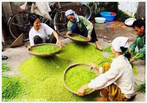 Lúa nếp hoa vàng dùng làm Cốm Làng Vòng